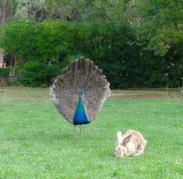 The bunny appears to be oblivious to what appears to be a peacock mating ritual